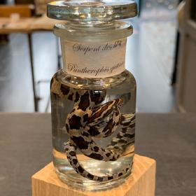 Fluid specimen: corn snake (Pantherophis guttatus) in jar