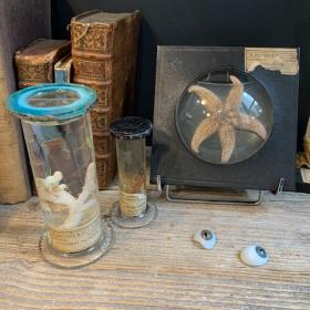 Museum jar - Wet specimen - Soft coral Alcyonium palmatum