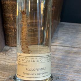 Museum jar - Wet specimen - Scolopendra (Scolopendra scolopendra)