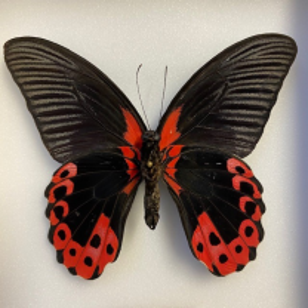 Entomological Box - Papilio rumanzovia - Scarlet Mormon