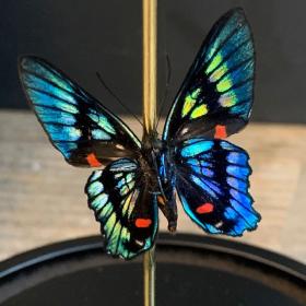 Flight of butterflies: Ancyluris Aulestes from Peru