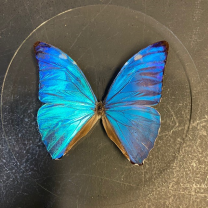 Butterfly in magnifying glass: Morpho Adonis- Naturalist magnyfier