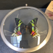 Butterfly in magnifying glass: Chrysiridia Ripheus - Sunset Butterfly - Naturalist magnyfier