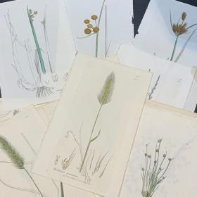 Planche botanique - Gravure ancienne d'Histoire Naturelle