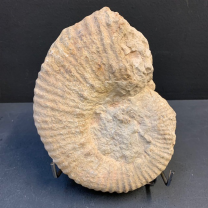 White Ammonite Fossil (Large) - from France - Mesozoic period