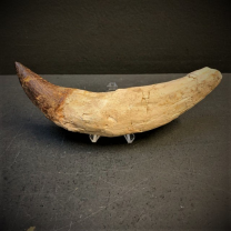 Fossil tooth of Basilosaurus - from Morocco - Priabonian period