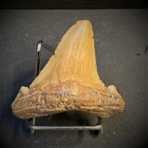 Shark tooth fossil - Otodus angustidens - East Coast USA - Oligocene period