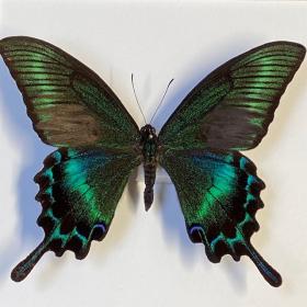 Entomological frame - Papilio Maackii
