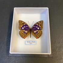 Entomological box Butterfly Sasakia Charonda - Emperor of Japan