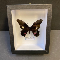 Entomological box - Butterfly Heraclides anchisiades