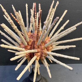 Oursin Crayon Prionocidaris sur socle en bois noirci