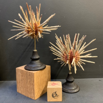Pencil sea urchin ( Prionocidaris ) on blackened wooden base