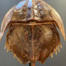 Horseshoe crab on base (little size): Carcinoscorpius rotundicauda - Philippines