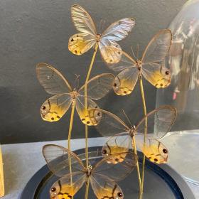 Haetera piera: Envolée de papillons sous cloche