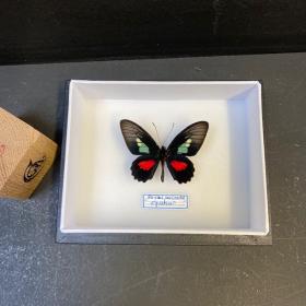 Papillon Parides eurimedes - Boite entomologique 12x15cm