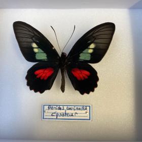 Entomological box - Butterfly Parides eurimedes