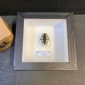 small Entomological Box - callichroma Chloé