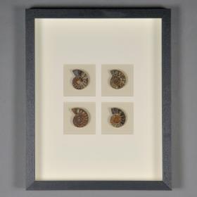 4 sliced and polished ammonites from Madagascar in blackened oak frame
