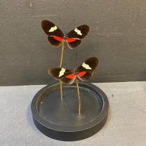 Little butterfly glass dome: Heliconius himera