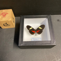 Entomological Box - Butterfly: Heliconius himera - 10x10cm