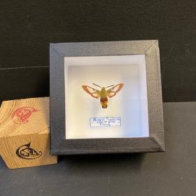 small Entomological Box - hemaris fuciformis