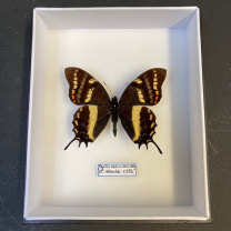 Entomological Box - Papilio cacicus orientalis butterfly