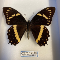 Entomological Box - Papilio Cleotas butterfly