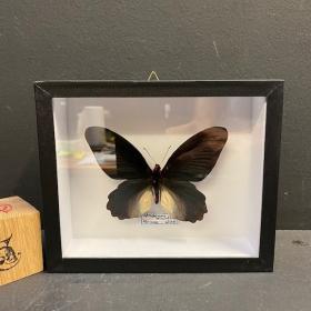 Papillon Atrophaneura horishanus - Boite entomologique 15x18cm