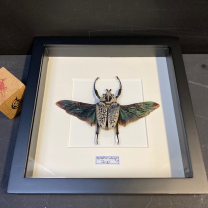 Entomological frame - Scarab Goliathus meleagris male with spread wings