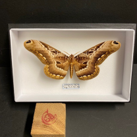 Entomological Box - Dactylocera Lucina butterfly
