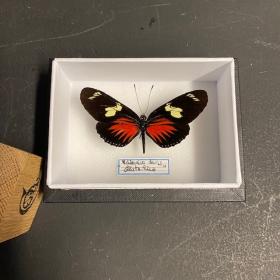 Entomological Box - Heliconius doris