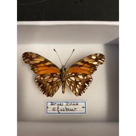 Entomological Box - Dryas Iulia