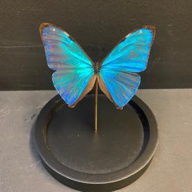 Little butterfly glass dome: Morpho aega