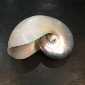 Pearly nautilus (Pre- CITES Convention) - Size L