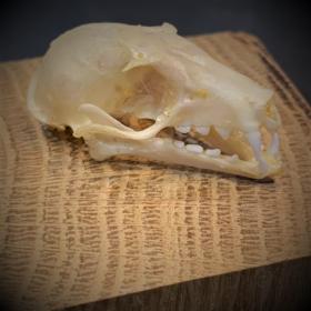 Bat skull - Eonycteris spelaea