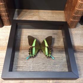 Cadre Transparent - Papilio Blumei