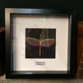 Phasmum Frame - Black Background - Necrocia Annulipes