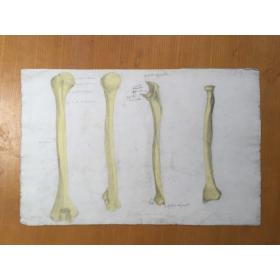 Etude Anatomique au fusain - Le Bras