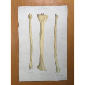Etude Anatomique au fusain - Le Péroné