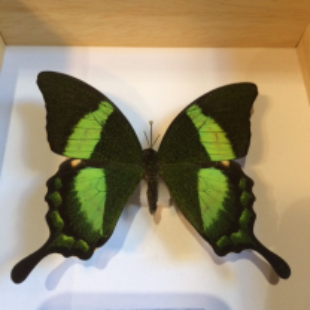 Cadre caisson Entomologique - Papilio Palinurus