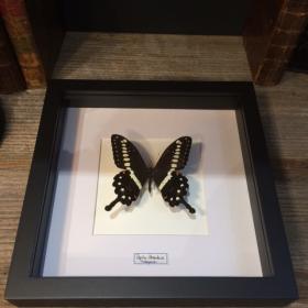 Cadre entomologique - Papilio Demodocus