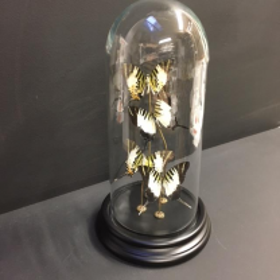 Envolée de Papillons Papilio Androcles