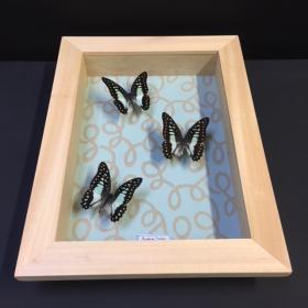 Cadre à caisson Entomologique - Graphium Doson