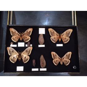 Ancienne boîte entomologiste Muséum Boubée 1970 - Saturnia Pyri