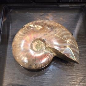 Ammonite nacrée de Madagascar sous écrin