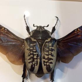 Cadre entomologique - Goliathus Albosignatus