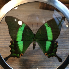 Naturalist Loupe Papilio Palinurus