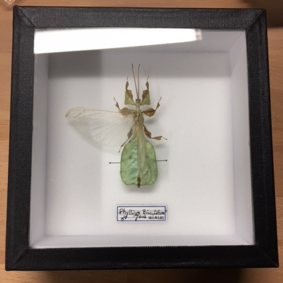 Boite entomologique fond blanc - phasme phyllium bioculatum