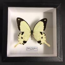 Entomological Box - Papilio Dardanus