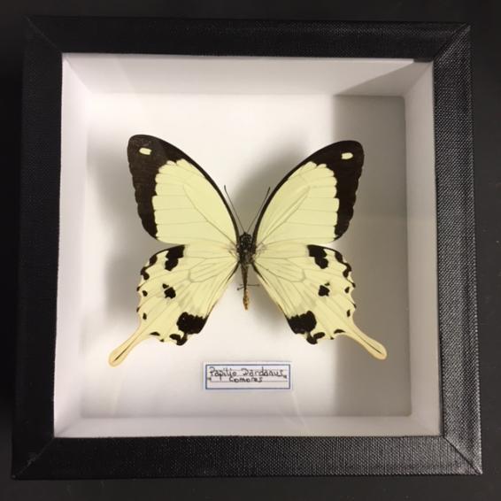 Boite entomologique fond blanc - Papilio Dardanus